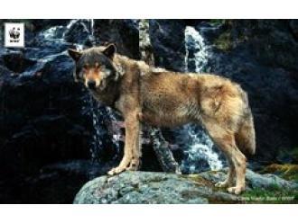 Zakaz polowań na wilki przy granicy z Polską