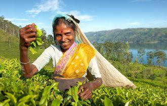 Herbata na Sri Lance